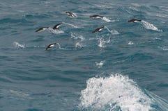 Vliegende Gentoo-Pinguïnen Stock Afbeeldingen