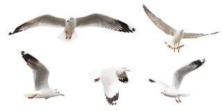 Vliegende geplaatste Zeemeeuwen, geïsoleerd op witte achtergrond stock fotografie