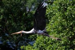 Vliegende geschilderde ooievaarsvogel in aard stock afbeeldingen
