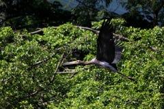Vliegende geschilderde ooievaarsvogel in aard royalty-vrije stock foto's