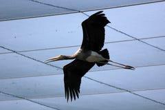 Vliegende geschilderde ooievaarsvogel in de dierentuin royalty-vrije stock foto