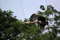 Vliegende geschilderde ooievaarsvogel in de dierentuin stock foto