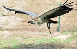 Vliegende gier Stock Afbeelding