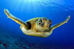 Vliegende groene schildpad Royalty-vrije Stock Foto