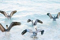 Vliegende groep pelikanen Royalty-vrije Stock Afbeeldingen