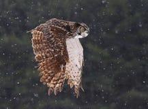 Vliegende Grote Gehoornde Uil stock foto's