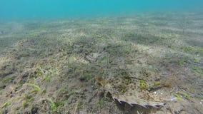 Vliegende Gurnard vissen in Papoea-Nieuw-Guinea stock videobeelden