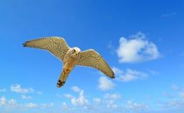 Vliegende havik onder een blauwe hemel royalty-vrije stock foto