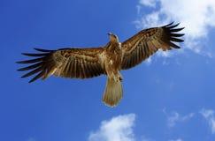 Vliegende Haviken Stock Foto's