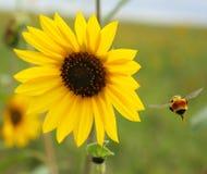 Vliegende Hommel op een heldere zonnige dag stock afbeelding
