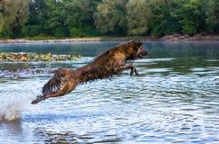 Vliegende hond Stock Afbeeldingen