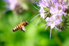 Vliegende honingbij dichtbij purpere bloem Royalty-vrije Stock Foto