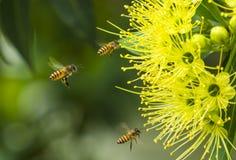 Vliegende honingbij die stuifmeel verzamelen bij gele bloem stock foto