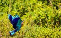Vliegende Indische Rol stock foto