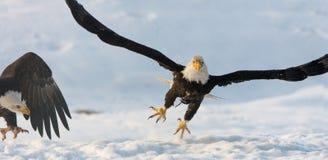 Vliegende kale adelaar Royalty-vrije Stock Foto's
