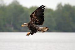 Vliegende kale Amerikaanse adelaar Stock Foto's
