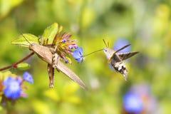 Vliegende Kolibrie havik-mot en sprinkhanen Stock Afbeeldingen