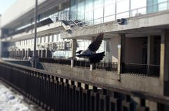 Vliegende Kraai Stock Fotografie