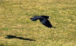 Vliegende Kraai Stock Afbeeldingen