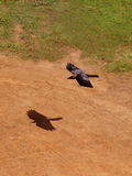 Vliegende Kraai Royalty-vrije Stock Foto's