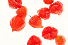 Vliegende lampionbloem stock foto
