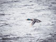 Vliegende Mannelijke Wilde eendeend over Water Royalty-vrije Stock Afbeeldingen