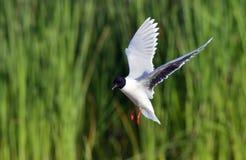 Vliegende Meeuw Met zwarte kop (Larus-ridibundus) Royalty-vrije Stock Afbeeldingen