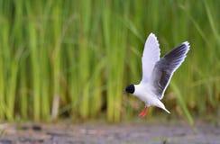 Vliegende Meeuw Met zwarte kop (Larus-ridibundus) Stock Foto's