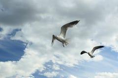 Vliegende meeuwen Stock Foto