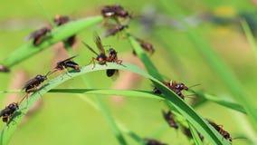 Vliegende mier stock videobeelden