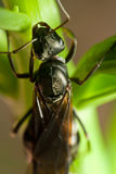 Vliegende Mier op Blad Royalty-vrije Stock Afbeelding