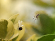 Vliegende mier in spinneweb Royalty-vrije Stock Afbeeldingen