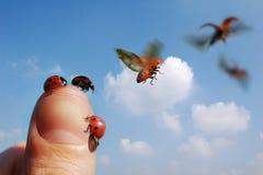 Vliegende Onzelieveheersbeestjes Stock Afbeeldingen