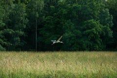 Vliegende ooievaar in fores Stock Foto's