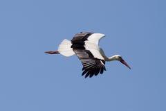 Vliegende ooievaar tegen blauwe hemel Stock Foto
