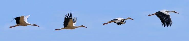 Vliegende ooievaars stock fotografie