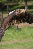 Vliegende overzeese Adelaar Royalty-vrije Stock Foto