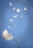 Vliegende paardebloemzaden op een blauw Stock Afbeelding