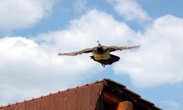 Vliegende pauw Stock Afbeelding