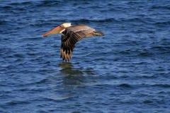 Vliegende pelikaan Stock Foto