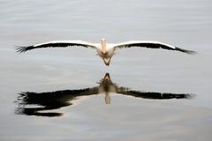 Vliegende Pelikaan Stock Afbeelding