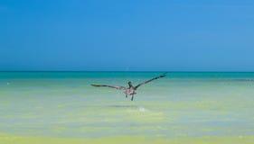 Vliegende pelikaan Royalty-vrije Stock Foto