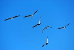 Vliegende pelikanen Stock Afbeeldingen