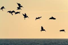 Vliegende pelikanen Royalty-vrije Stock Afbeelding