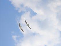 Vliegende pelikanen Stock Foto's
