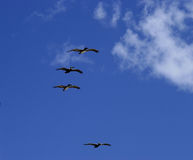 Vliegende pelikanen Royalty-vrije Stock Fotografie