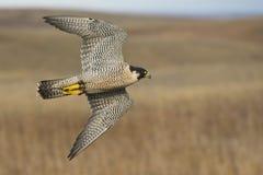Vliegende Peregrine Falcon Royalty-vrije Stock Foto's