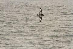 Vliegende Pintado-Stormvogel Royalty-vrije Stock Foto
