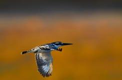 Vliegende Reuzeijsvogel royalty-vrije stock afbeeldingen