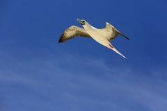 Vliegende Rode Betaalde Domoor stock foto
